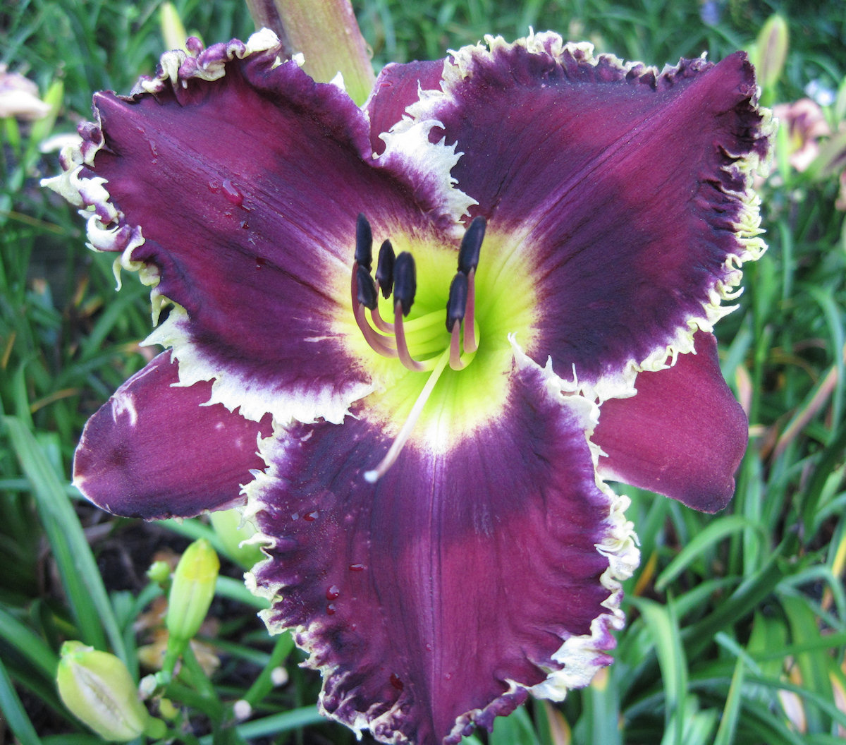 32 Best Compliments Of Purple Images On Pinterest: ART GALLERY GARDENS... The Daylilies Of Ludlow Lambertson